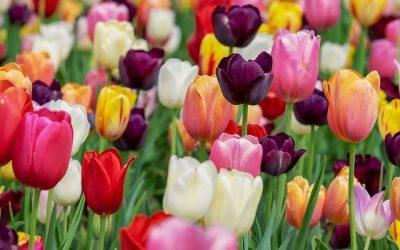 En mai, ode à la tulipe!