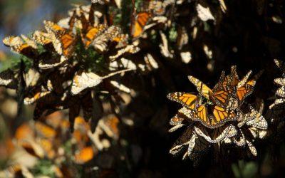 L'étonnante résilience du papillon monarque