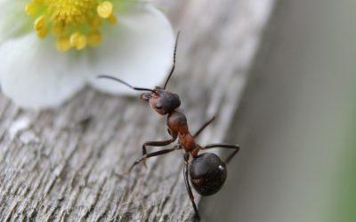 Les fourmis si petites, mais incommodantes!